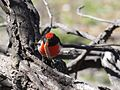Petroica goodenovii -Mulligans Flat Nature Reserve, Canberra, Australia-8.jpg