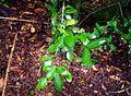 Peumus boldus - hojas en Malleco.JPG
