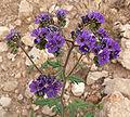 Phacelia crenulata 4.jpg