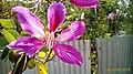 Phanera Purpurea.jpg