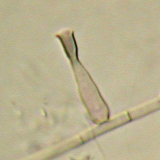 <i>Phialophora verrucosa</i>