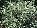 Phlomis angustifolia (21577005265).jpg