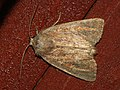 Photedes fluxa - Mere wainscot - Стеблевая совка буровато-серая (26259496797).jpg