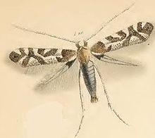 Phyllonorycter comparella httpsuploadwikimediaorgwikipediacommonsthu