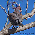 Picazuro-Pigeon-(Patagioenas-picazuro)-DSC04426 250813 buenosaires.jpg