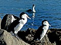 Pied Shags.NZ. (14350136454).jpg