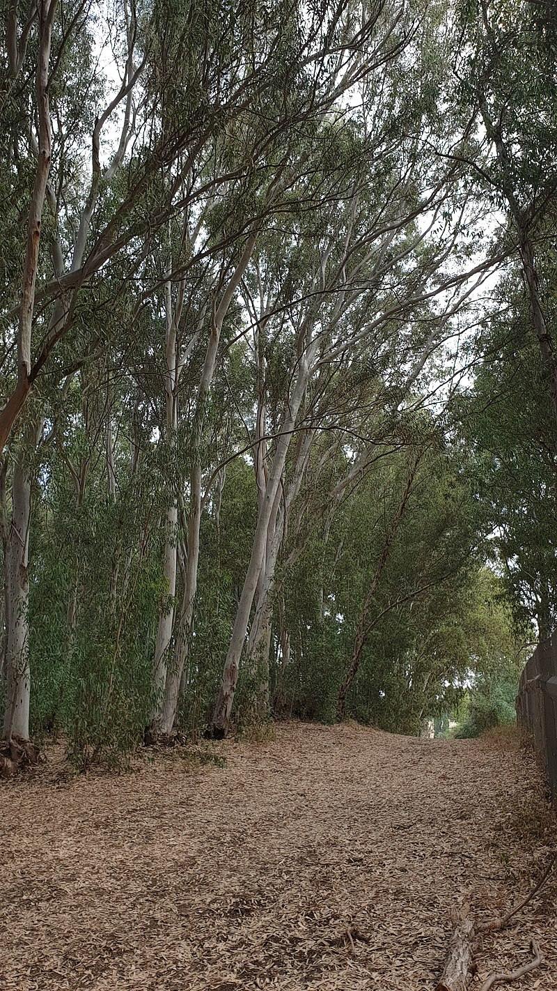 חורשת אקליפטוס - כפר חיים