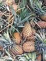 Pineapples in Lahan.jpg
