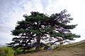 Pinus densiflora Jiri-san 1.jpg