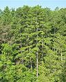 Pinus echinata Rocky Creek.jpg