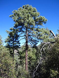 <i>Pinus engelmannii</i> species of plant