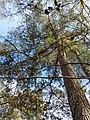 Pinus glabra, Tallahassee, Florida 5.jpg