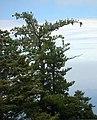 Pinus lambertiana SanJacinto1.jpg
