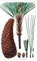 Pinus montesumae tab22 2.jpg