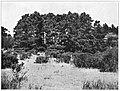 Pinus muricata baccharis douglasii plate 29.jpg