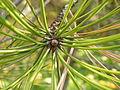 Pinus nigra (1111) 01.JPG