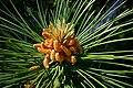 Pinus nigra (5745742608).jpg