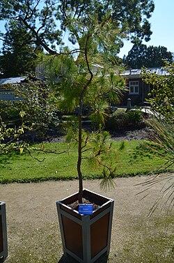 Pinus tecunumanii.jpg