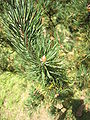 Pinus uncinata detail.jpg