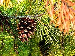 Pinus virginiana cone.jpg