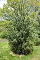 Pinus wangii subsp kwangtungensis - Morris Arboretum - DSC00383.jpg