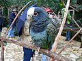 Pionus senilis -Macaw Mountain Bird Park, Honduras-8a (2).jpg