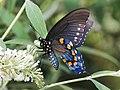 Pipevine Swallowtail (16770990878).jpg