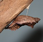 Pipevine Swallowtail chrysalis, Megan McCarty53.jpg