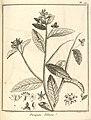 Piriqueta villosa Aublet 1775 pl 117.jpg