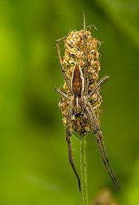 Pisaura mirabilis on Plantago lanceolata.jpg