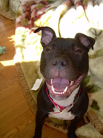 "a pit bull terrier named ""Wiki"" smiling"