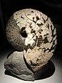 Placenticeras costatum, Cretaceous, Pierre Shale Formation, Cheyenne River, Pennington County, South Dakota, USA - Houston Museum of Natural Science - DSC02011.JPG
