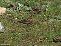 Plain Mountain Finch (Leucosticte nemoricola) (23249370939).jpg