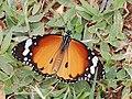 Plain Tiger (2773253637).jpg