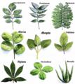 Plant morphology - Foliorum compositio.png