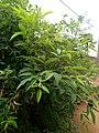 Plante de Pois d'Angole.jpg
