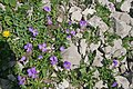 Plants am Rufikopf 15 - violka.JPG