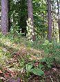 Platanthera chlorantha 090606.jpg