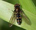 Platycheirus peltatus (male).jpg
