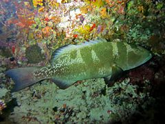 Black-saddle coral grouper (Plectropomus laevis)