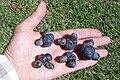 Podocarpus elatus two seed cones.JPG