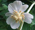 Podophyllum umbellatum 1.jpg