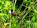 Poecile palustris IMG 6602^.jpg