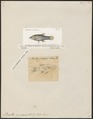 Poecilia vivipara - 1700-1880 - Print - Iconographia Zoologica - Special Collections University of Amsterdam - UBA01 IZ14800145.tif