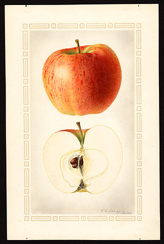 Melba (apple) - Image: Pomological Watercolor POM00002873