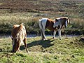 Ponies by the Plym - geograph.org.uk - 1530903.jpg