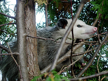Virginia opossum Possum122708b.jpg