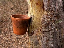 Collecting resin: a pot pitched between a nail and a kerf in a tree.