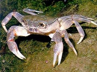 Potamoidea superfamily of crustaceans