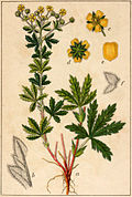 Potentilla inclinata Sturm.jpg